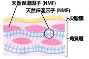 皮脂膜、角質層